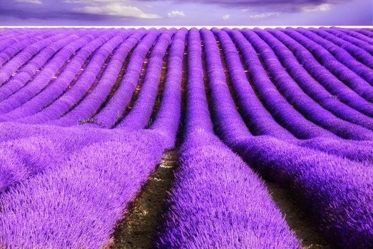 Trồng và cắm hoa oải hương, dùng tinh dầu oải hương